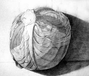 The Cabbage image